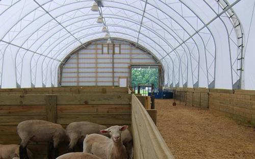 Sheep inside a Clear Span Building